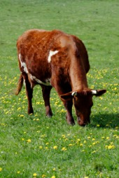 grass-fed cow grazing in a meadow