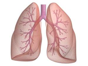 a lung image showing the bronchi