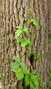 poison ivy vine climbing tree