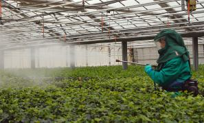 spraying dangerous pesticides in a greenhouse
