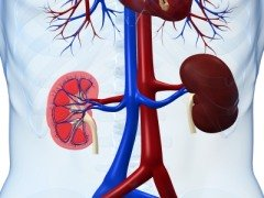 3-D image of human kidneys